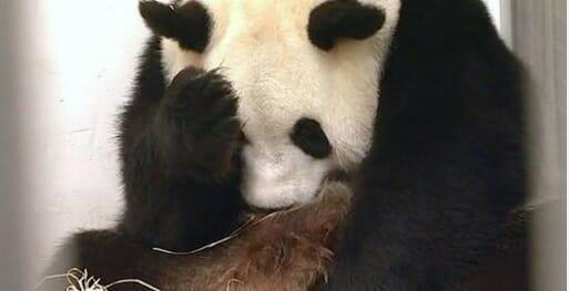 oso panda marrón