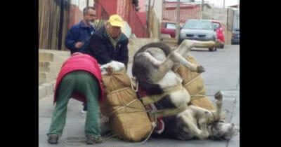 burro-desplomado