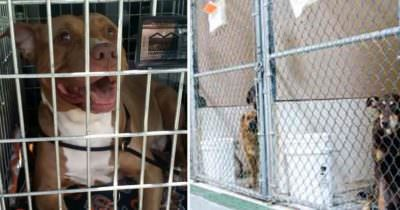 Adopted pitbull