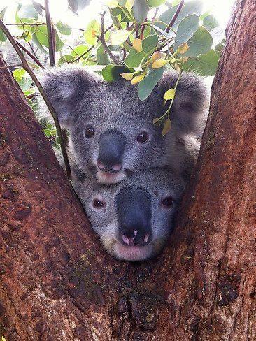 https://www.facebook.com/koalasmakemehappy/photos/a.812766155513025/1958715970918032/?type=3&theater