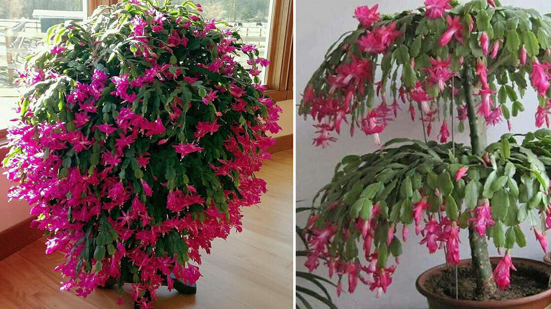 How to grow a bigger Christmas cactus