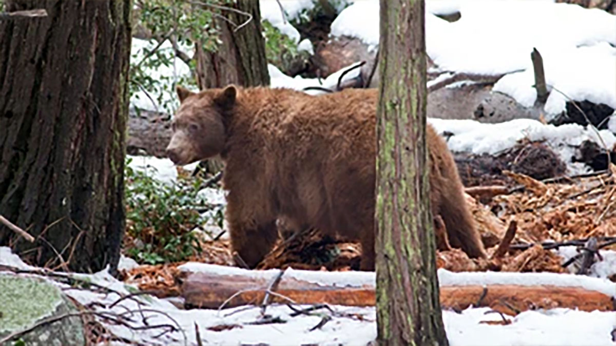 Yosemite Bear HD Stock Images | Shutterstock
