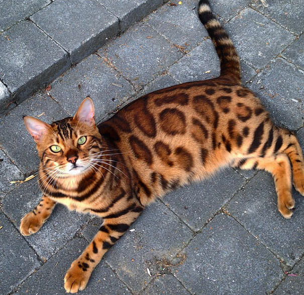 Bengalkatt, Thor, katt, bengal, instagram