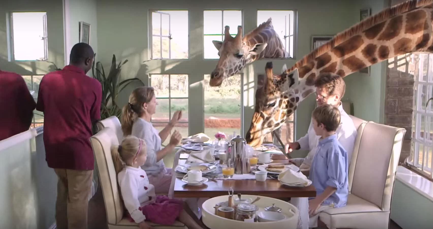 giraffer frukost