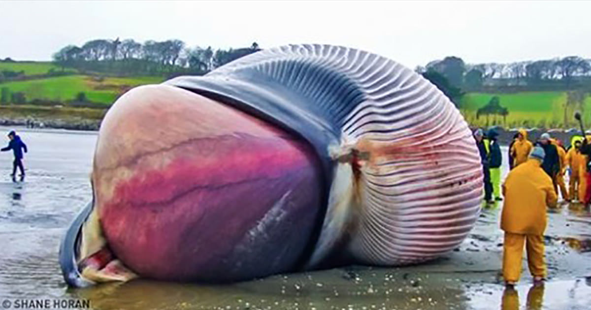 Hur stor är Whale penis