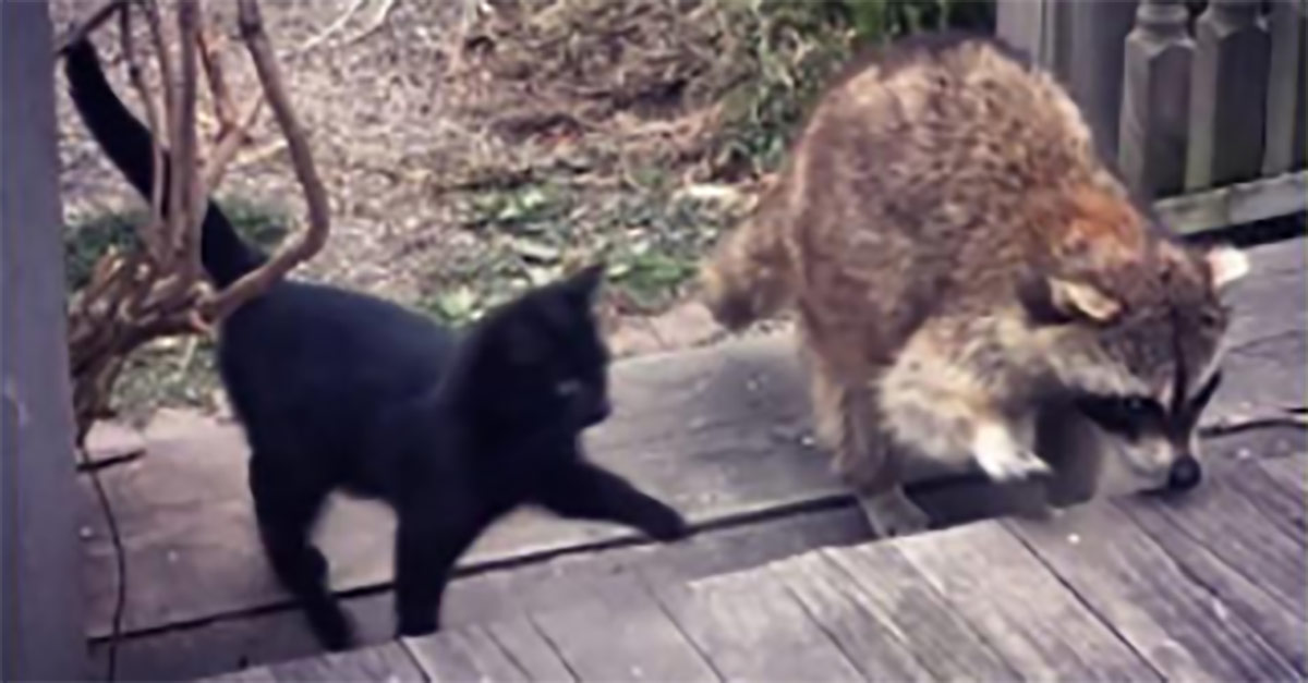 tvättbjörn och katter