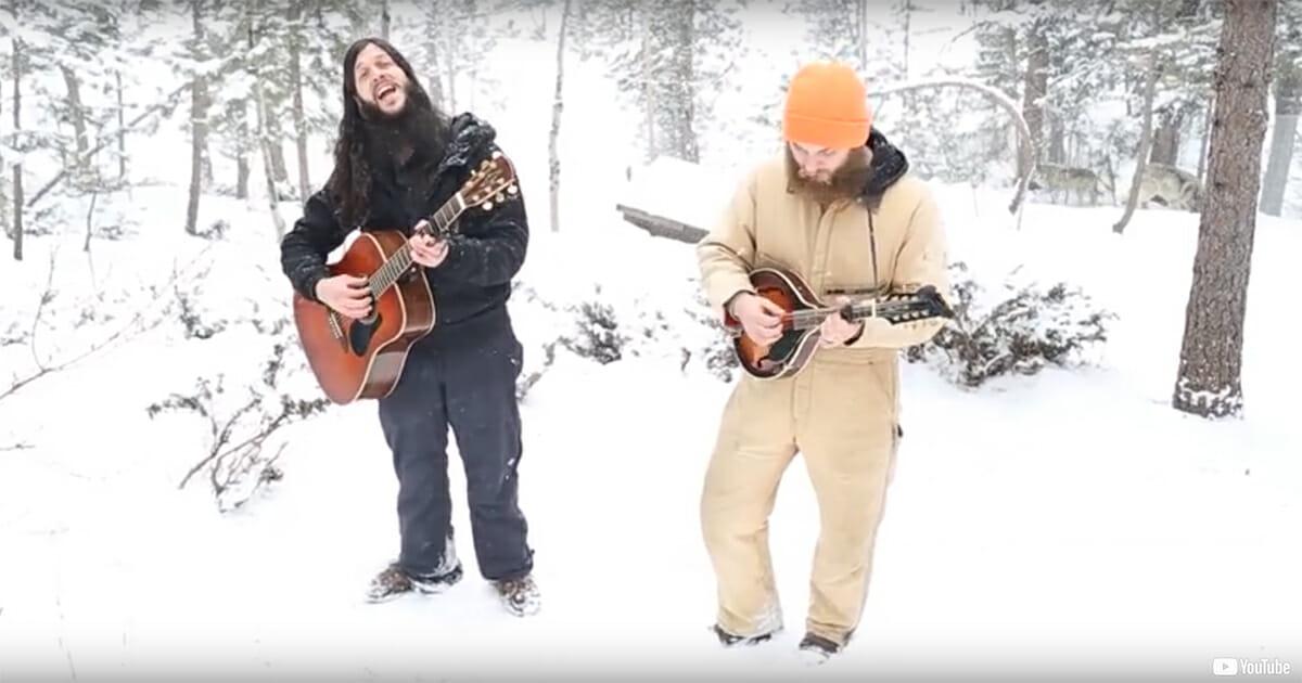 Vännerna sjunger i reservatet – se och hör vargarnas oväntade hyllning