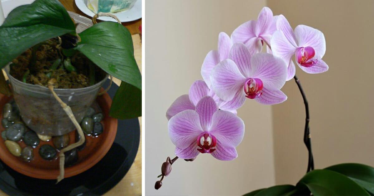Få liv i din orkidé