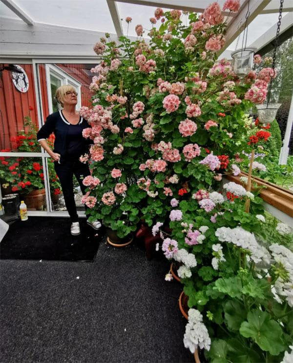 gun-marie nyström jonsson, pelargoner, appleblossom rosebud