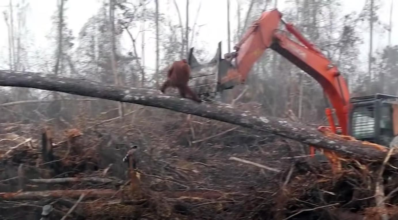 Orangutang slåss mot bulldozer.