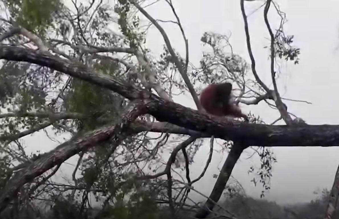 Orangutang får sitt hem förstört.