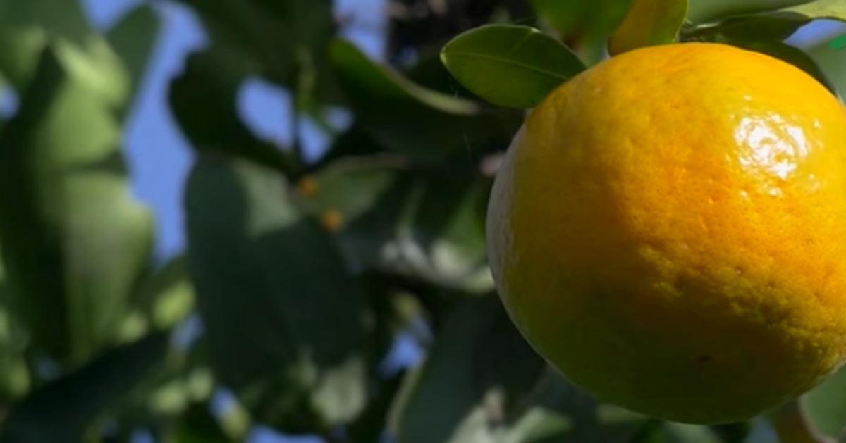 Skilland mellan mandarin och clementin