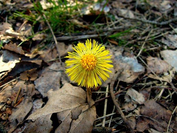 tussilago, våren