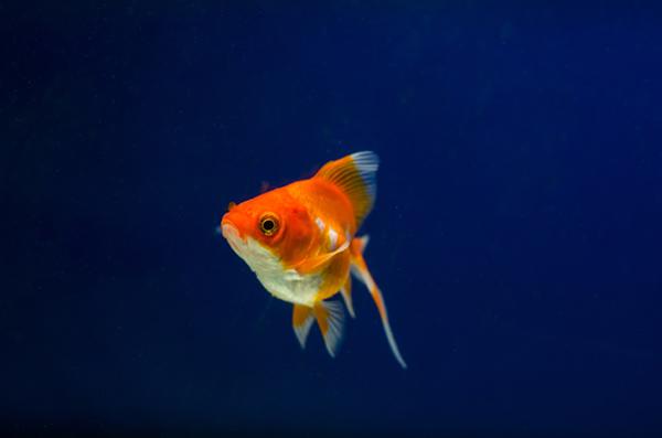 gullfisk