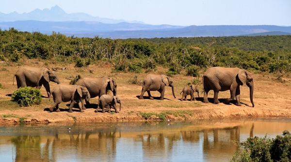 Słonie w Afryce