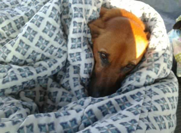 The photo shows a dog sleeping on a warm bed - the dog is covered with a duvet