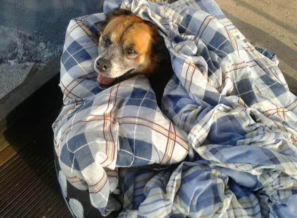 The photo shows a dog wrapped in a duvet