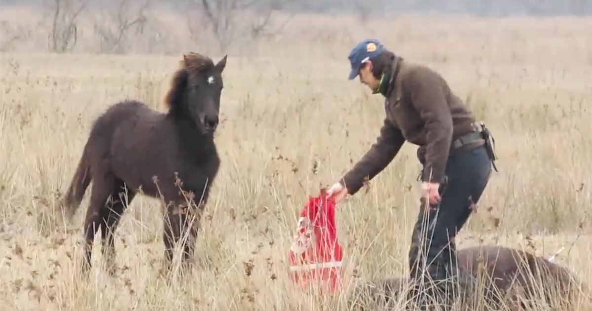 Bohater ratuje dzikiego konia zakutego w łańcuchy