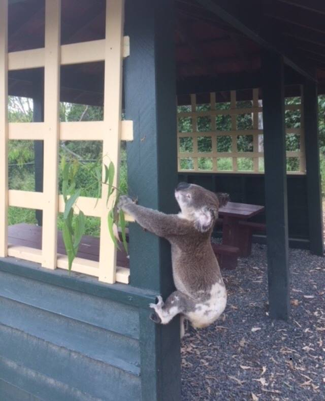 Koala przybity do słupka