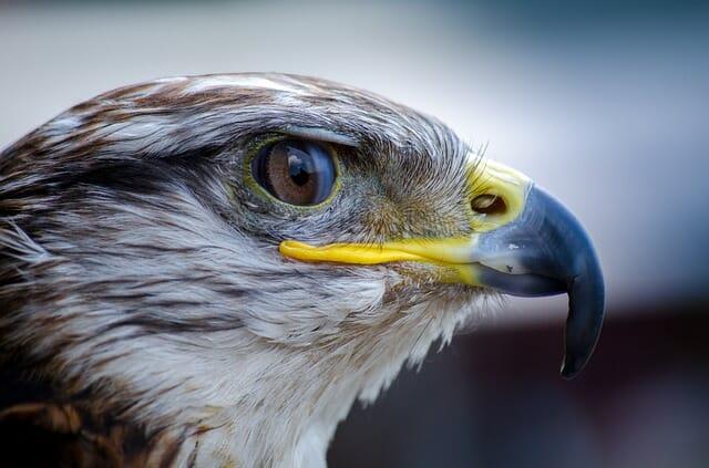 Na zdjęciu widoczna jest widziana z profilu głowa orła