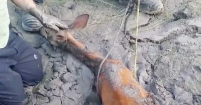 Na zdjęciu widać sarnę uwięzioną w kałuży błota