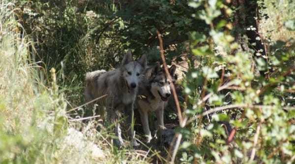 Na zdjęciu znajdują się Tenali i Castiel, którzy razem spacerują