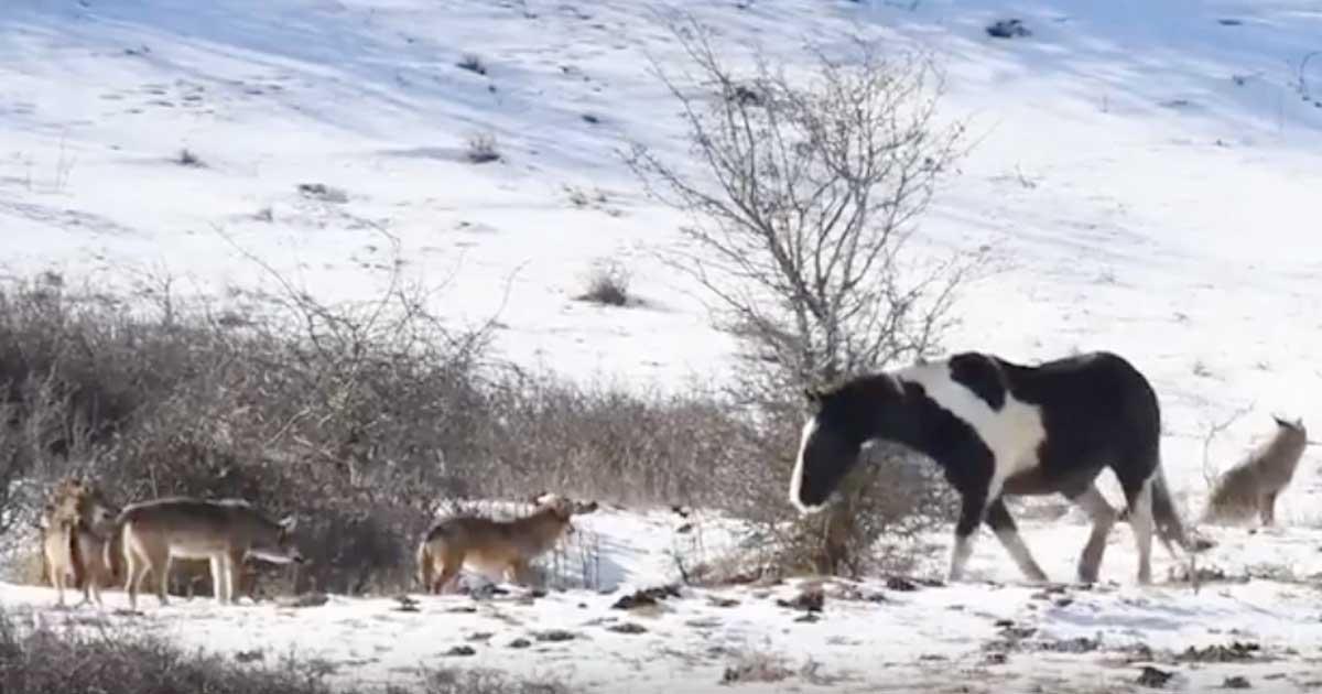 Koń podchodzi do wilków - wywołuje niespodziewaną reakcję