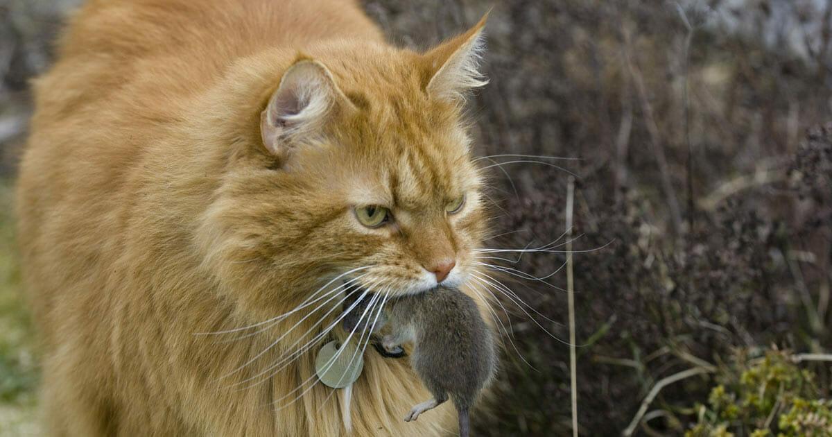 Kot z myszką