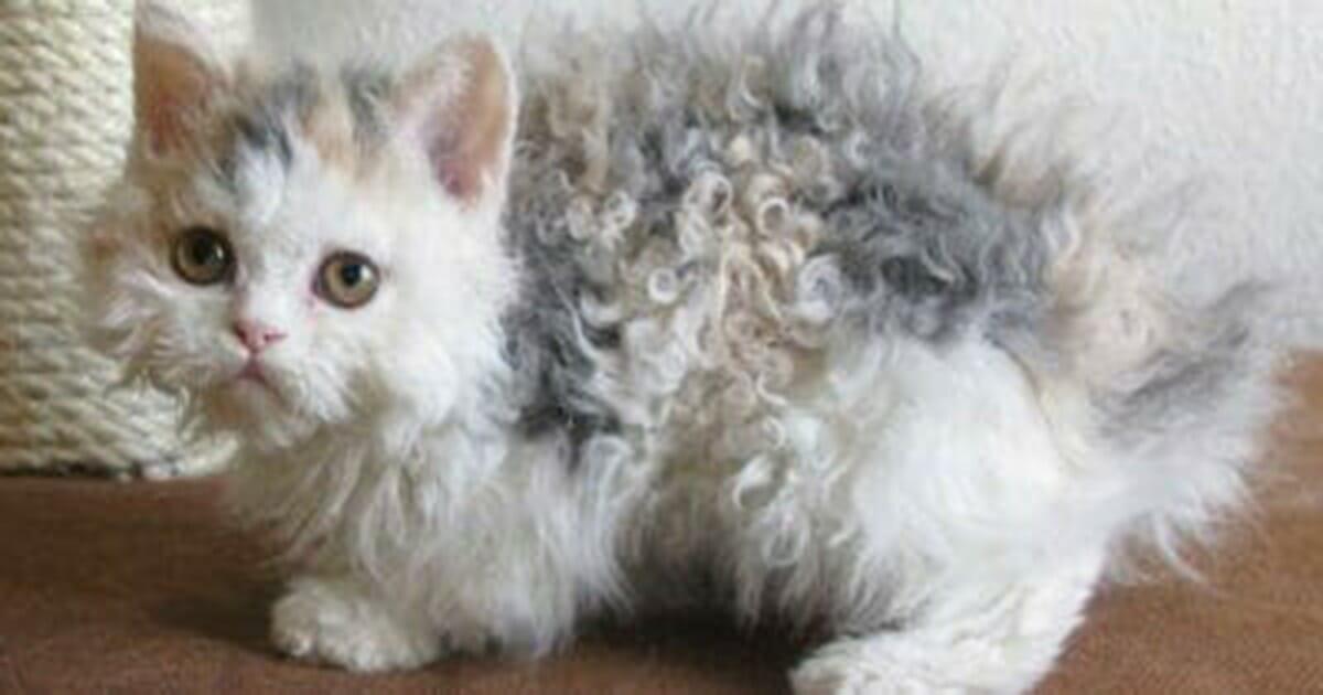 Futro tego kota kręci się jak u pudla - właścicielka przygląda się bliżej i nie może uwierzyć