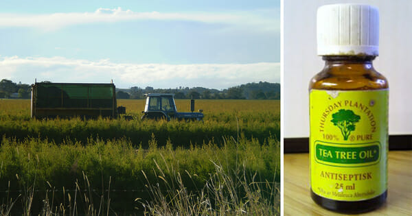 Grafika składa się z dwóch zdjęć: po lewej pole uprawne, po prawej buteleczka olejku herbacianego