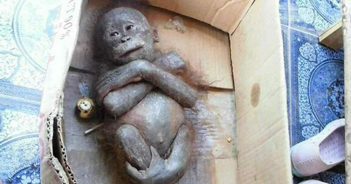 """Mały, """"zmumifikowany"""" orangutan został znaleziony w pudełku - zobacz jego niesamowitą przemianę dzięki pomocy od ludzi dobrej woli"""