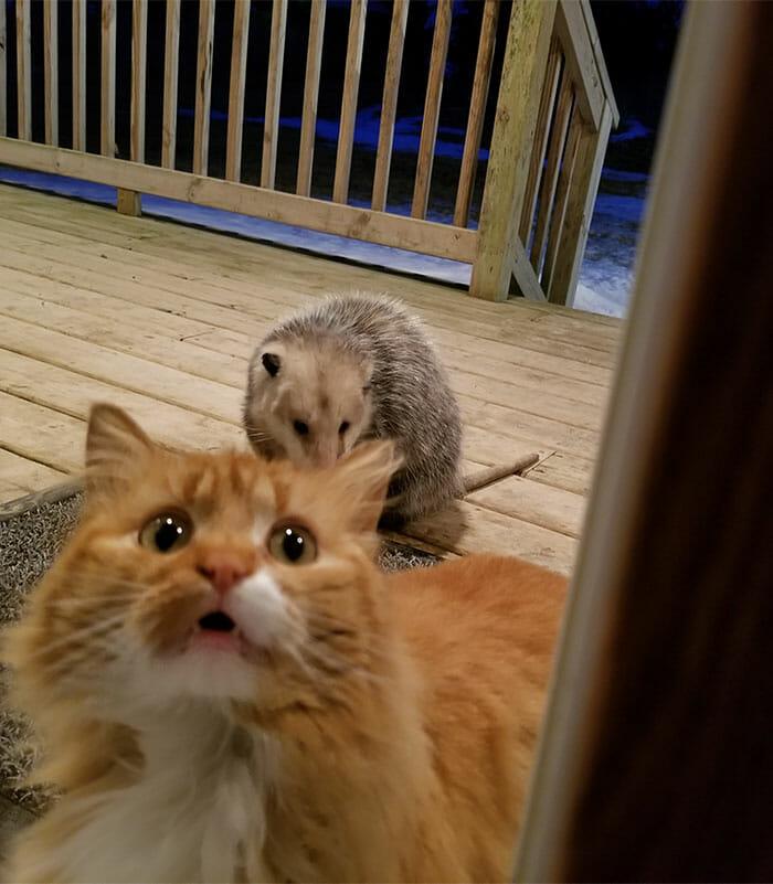Na zdjęciu widać kota i oposa, który zjada mu jedzenie