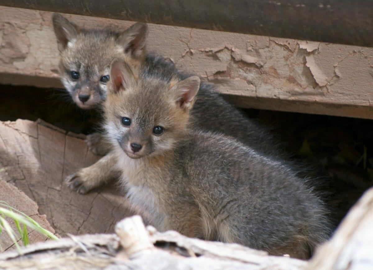 Na zdjęciu znajdują się dwa małe liski