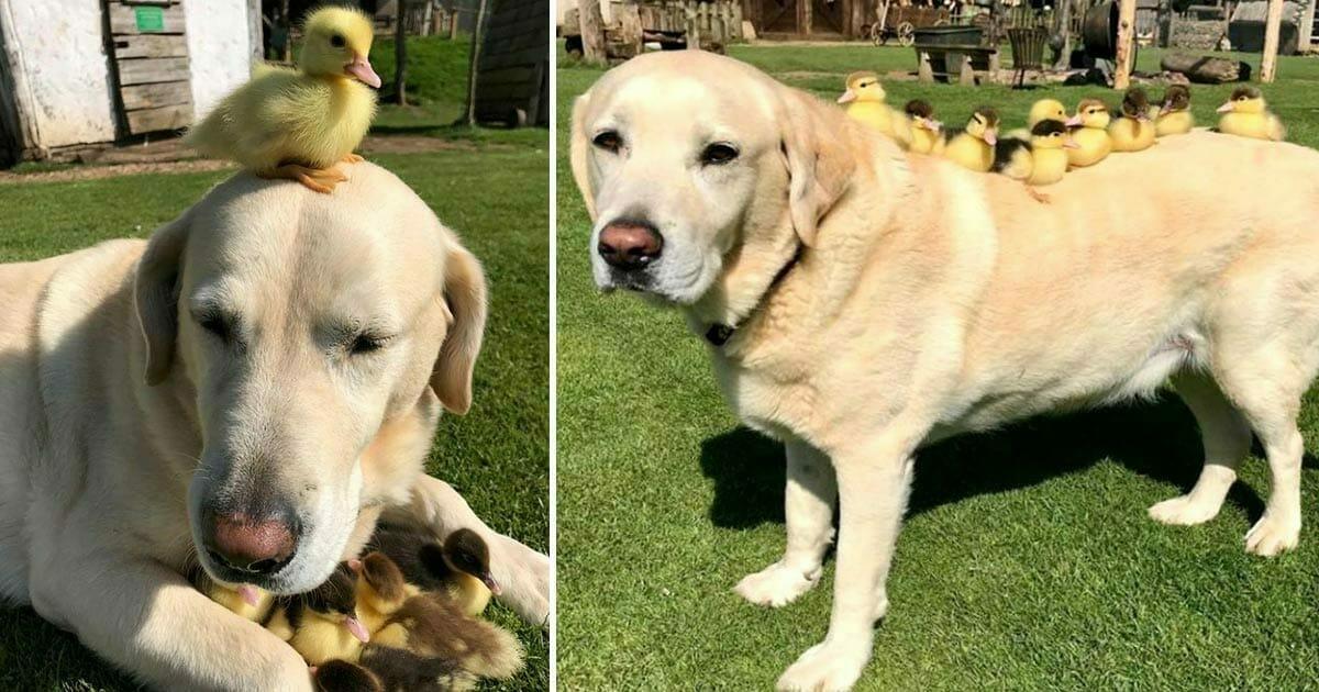 10-letni labrador zaadoptował 9 kaczątek, gdy ich mama została zabita przez lisa