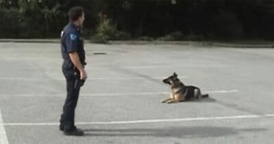 Policjant wykonuje jeden mały gest - takiej reakcji psa nigdy nie widzieliście