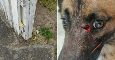 Niebezpieczna pułapka prawie pozbawiła psa Morgana oka - jego właściciele chcą teraz ostrzec innych posiadaczy psów