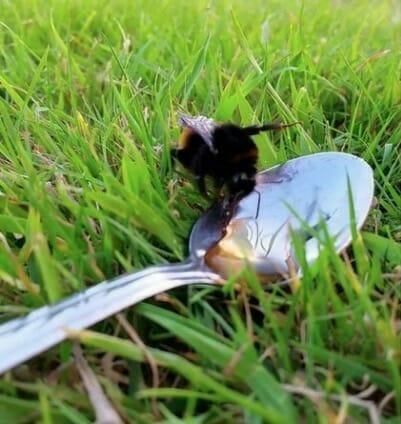 Pszczoła pije cukier