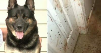 Właściciel wraca do domu i zauważa na ścianach krew. Gdy spogląda na owczarka niemieckiego, dociera do niego straszna prawda