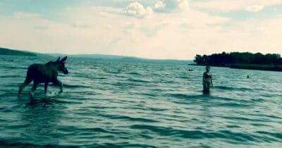 Łoś przechodzący obok kąpiącej się w jeziorze kobiety