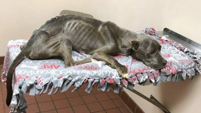Mężczyzna ratuje wychudzonego pitbulla ważącego zaledwie 10 kg - w 12 tygodni przechodzi niebywałą przemianę