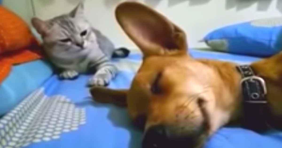 """Śpiący pies puszcza potężnego """"bąka"""" - reakcja kota podbija internet"""