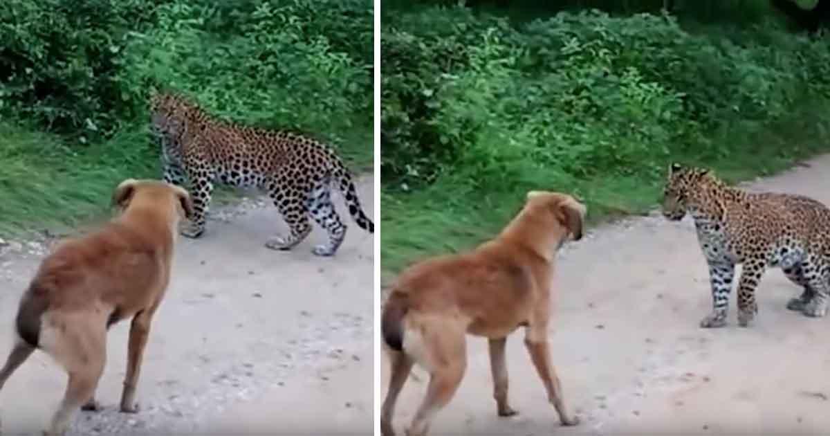 Lampart przymierza się do ataku na psa w środku lasu - zobacz co udało się nagrać kamerą