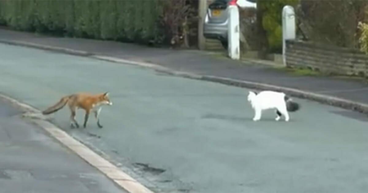 Lis szykuje się do ataku na kota - nagle sprawy przybierają zupełnie inny obrót