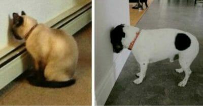 Grafika przedstawia dwa zdjęcia: po lewej kot, a po prawej pies - każde ze zwierząt przykłada głowę do ściany