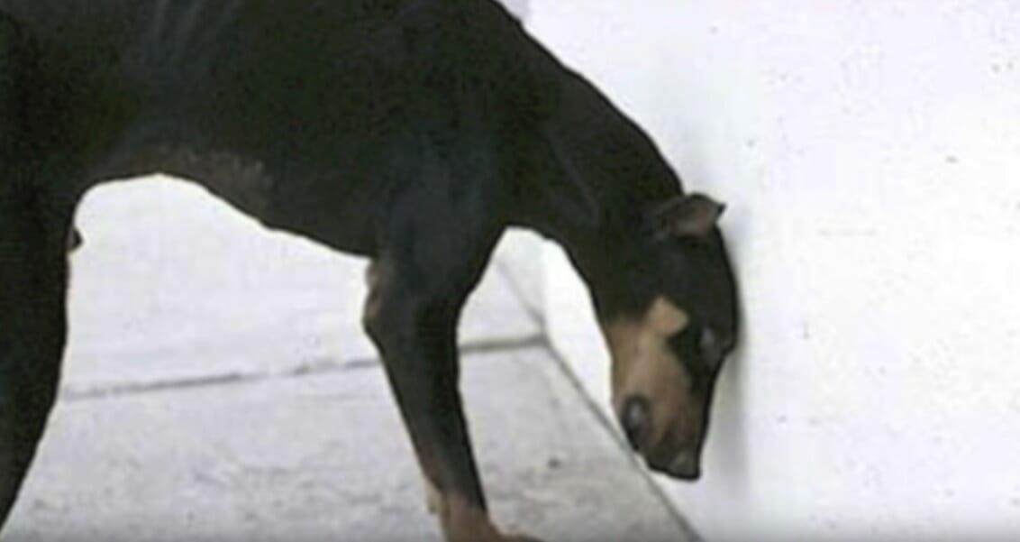 Doberman przykładający głowę do ściany