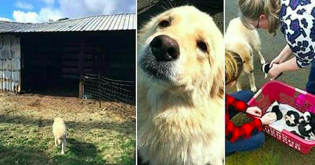 Grafika przedstawia trzy zdjęcia: po lewej stodoła, w środku Daisy, po prawej Daisy i jej nowe szczeniaczki