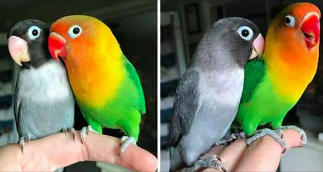 Dwie zupełnie różne papugi mają wspólne potomstwo - zobacz zdjęcia tej cudownej gromadki