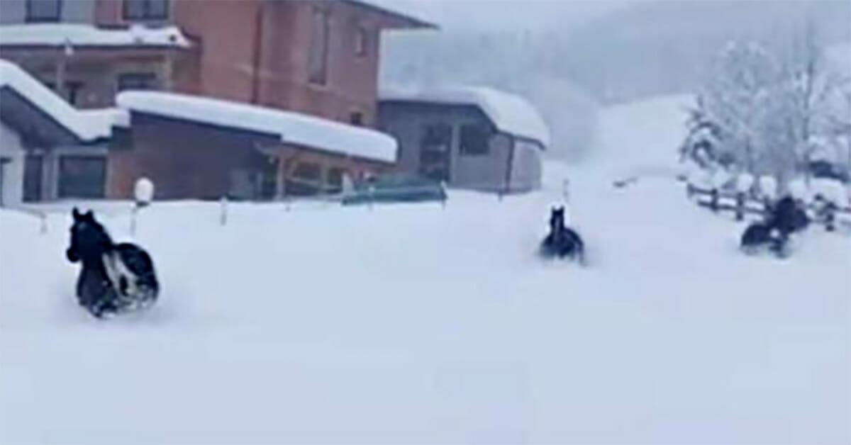 Trzy konie zostają wypuszczone w głęboki śnieg - oglądanie ich radosnej zabawy to czysta przyjemność