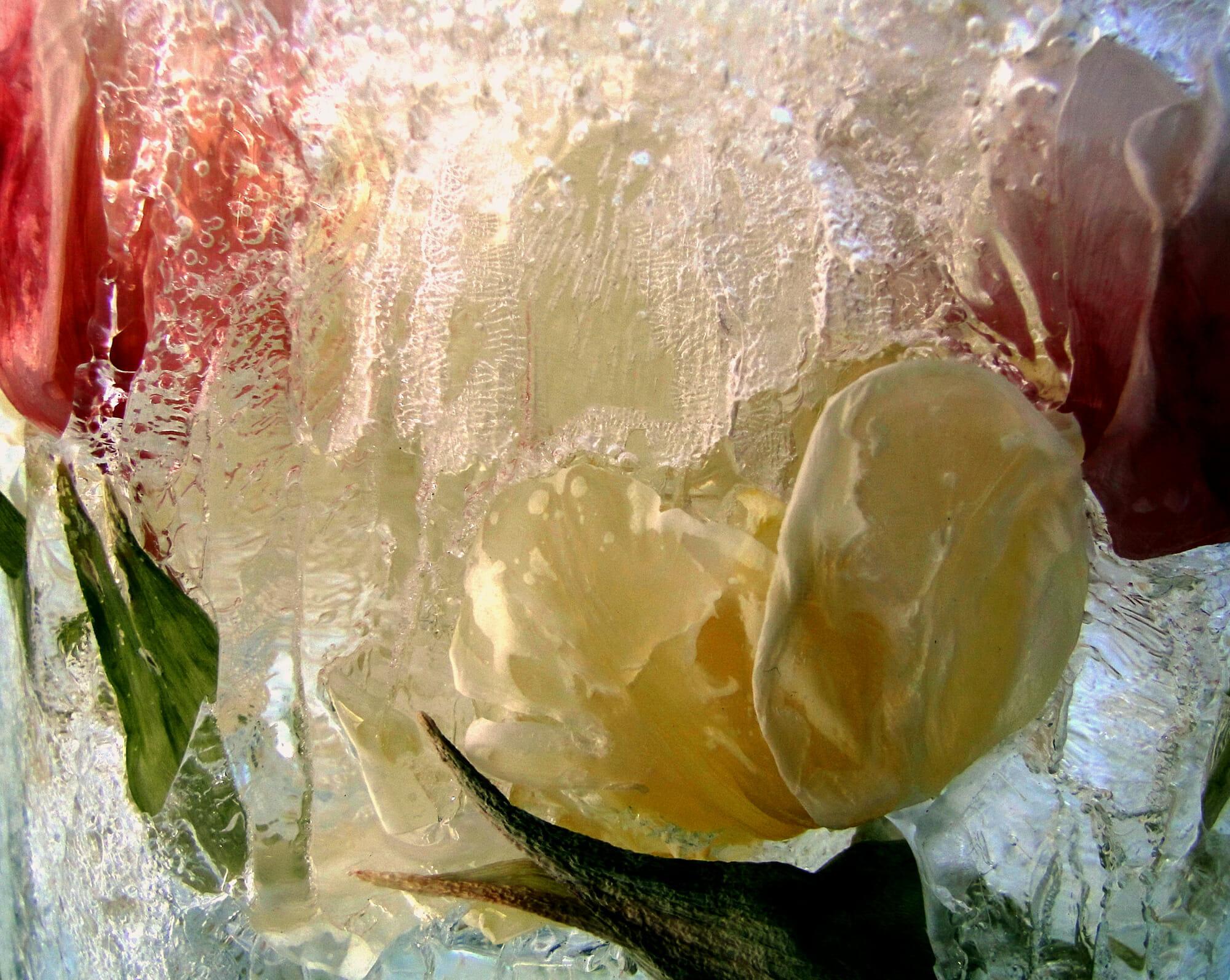 Zamrożone tulipany w wodzie
