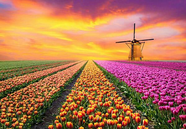 Pola różnokolorowych tulipanów